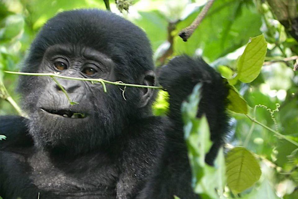 Miradas de Gorilas, Uganda2