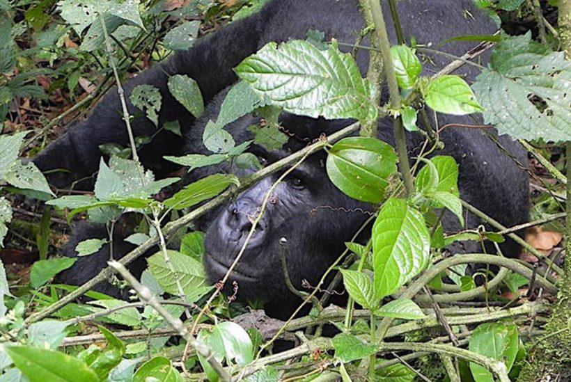 Miradas de Gorilas, Uganda3