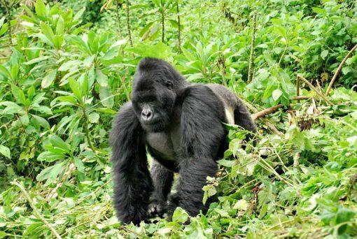 Selva Bwindi, Uganda1