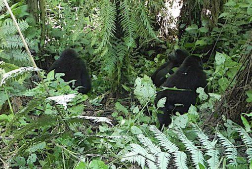 Selva Bwindi, Uganda6