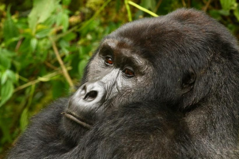 gorillaface
