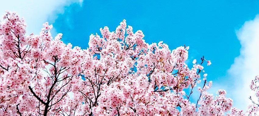 hanami-cerezos-japoneses